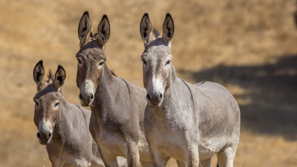 SLO burros-Kaitlyn Toay 2018-IMG_6383 copy