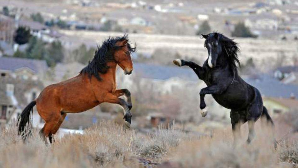 Wild_Horses_Nevada_Lawsuit_64358-4076d