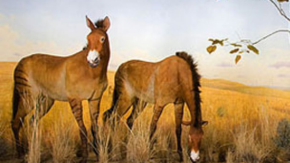 Horse Evolution (AMNH)