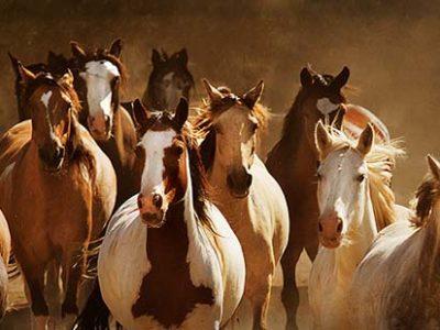 Choctaw Herd