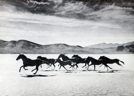 Wild horses chased by mustangs for dog food, circa 1960s.