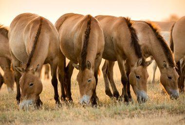 Herd of Przewalski's Horses