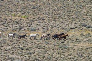 Silver King Herd