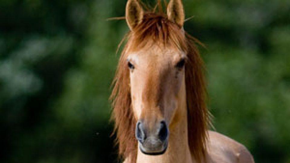 sulphur-horse