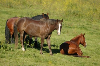 Wilbur, in younger days, with Cayuse and Cayuse's mare, Millie.