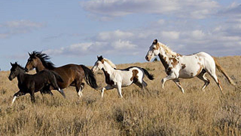Horse (AMNH)