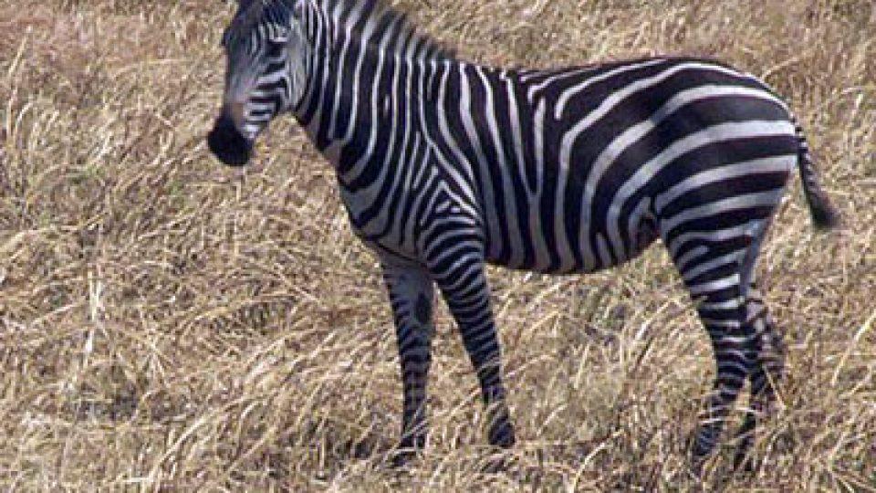zebra-ucdavis